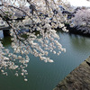 桜満開の彦根城へ