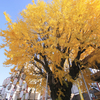Autumn season in Fukuoka –Introduction to Gingko tree–