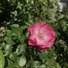 土の表面から発酵する仕組み 有機栽培のメカニズムについて バラとバラ以外の植物に効果あり