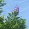 ジャカランダの青紫の花