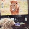 我が家のベイビーちゃん マルプー成長日記⑨ テレビ大好き