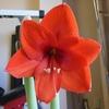 種からアマリリス 開花報告