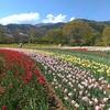 戸川公園のチューリップ