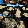 イチジクの袋栽培を開始