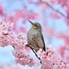 🌸東京 舎人公園は桜が綺麗に咲いてます🌸