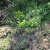湿地帯にアヤメを移植
