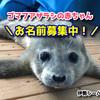 日本一触れ合える水族館「伊勢シーパラダイス」で、ゴマフアザラシの赤ちゃんのお名前募集しています☆