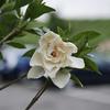 くちなしの甘い香り      Gardenia jasminoides