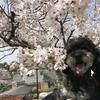 「日隈公園」の桜を愛でて、「佐賀城下ひな祭り」に行った話♪  その1 3月30日