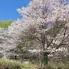 春満喫!トヨタホームこころ展示場の恒例のしだれ桜。