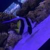 【アクアリウム】ツノダシ おすすめ海水魚