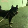 柴犬よんくろ、新宿散歩シリーズ⑧