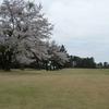 コース内の桜状況