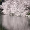桜が教えてくれること