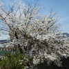 神戸)都賀川の桜、ほぼ満開の桜も。「LUMIX DC-G100+12-60mm/F3.5-5.6」「PowerShot G5 X Mark II」比較テスト。