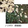 菊(3)ノギクと野路菊  日本在来のキクもあります.その代表がノジギク(野路菊).兵庫県花のノギクですね.とはいってもノギクの代表はむしろシオン属のヨメナやノコンギク.ノジギクはキク属ノギクの代表的な種.万葉のももよぐさ百代草はこのノギクのことかもしれません. ももよぐさ / 万葉集 父母が,殿(との)の後方(しりへ)の,ももよ草,百代(ももよ)いでませ,我(わ)が来(きた)るまで 生玉部足國(みむべのたるくに)