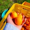杏の収穫始まる!