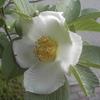 沙羅双樹の花が、仏様が悟りを開いた花だ。
