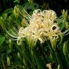 南足柄市千津島の白い彼岸花&リコリスの丘&白鷺ファミリー