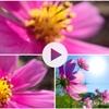 風に吹かれて 秋の桜 コスモスを撮影してきました(iPhoneカメラ 写真と動画のGIFアニメ)