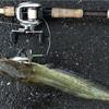 雨中のナマズ釣りでも苦戦 こんなに難しかったっけ?