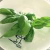 家庭菜園のバジル Basil from my garden