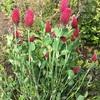 ベニバナツメクサ(紅花詰草)の花
