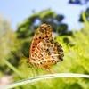 秋の庭「ツマグロヒョウモン」の幼虫から成虫になるまでを見届ける