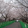 熊本城で花見を 行幸坂の一部開放 [熊本県]