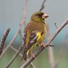 鳴き声は「コロコロ」!黄色の小鳥カワラヒワのかわいい特徴と魅力