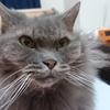 【猫の慢性腎不全】さくらの皮下点滴、嫌がるのをムリヤリやって成功