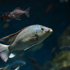 オレオクロミス・タンガニカエ Oreochromis tanganicae