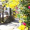 江ノ電 龍口寺の銀杏と椿