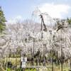 一年ぶりの伏姫桜は満開でした。@真間山弘法寺 千葉県市川市 2017