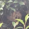 袋井市で庭木の中に巣を作ったスズメバチを退治してきました!