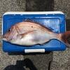ゴーマルの真鯛x2