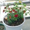 サントリーの花、ミリオンベルをベランダで育て中