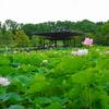 日本庭園の蓮(10)