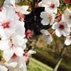 桜って綺麗よね