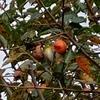 メジロと渋柿