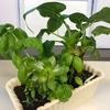 ダイソーで購入した植物を育てたら、もれなくコバエが付いてきました(涙)