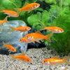 (金魚)生餌 小赤 エサ用金魚 大和郡山産(30匹) エサ金 餌金