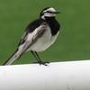 尾をフリフリさせるかわいい鳥「セキレイ」。主な種類と特徴を紹介