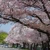 宇治川の桜まだまいける 満開より散りだした直後が一番美しい説