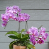 芳香が漂ってきたカトレア、満開の胡蝶蘭たち、庭の鉢植え植物たち