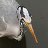 週末の鳥撮り[フジ][ショウブ][アヤメ][ハシボソガラス][カイツブリ][カルガモ][アオサギ][ツツジ]