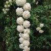 このコデマリ(小手鞠)という花、静止画なのにテンテンてんまりしているよ!