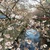 目黒川の桜を見て来ました。開花状況は一分咲き程度、お花見はまだ先。【40代コーデあり】