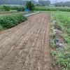 白菜の畝立てと定植