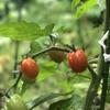 ミニトマト芽掻くおよびの青臭き(あ)